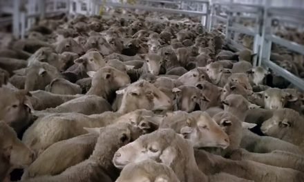 Emanuel Exports, live sheep exports and regulatory failure
